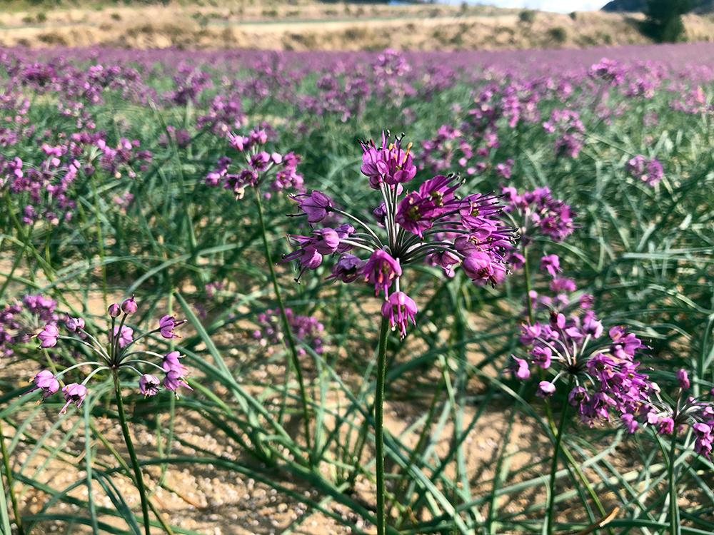 一面に咲く紫の花はらっきょうの花畑
